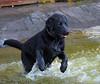 DSCF6291-2 (bc-schulte) Tags: labrador wasser water schwarz black spielen schwimmen hund dog tier