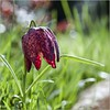 Pb_4180196 (calpha19) Tags: imagesvoyagesphotography adobephotoshoplightroom olympus omd em1mkll macrophotographie macro m60macrof28 fleurs flowers