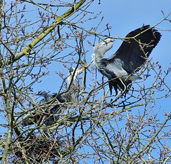 The Joust ! (petejam70) Tags: heron action naturewatcher awesome trees community wings vancouvercanada