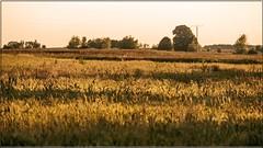 Spätsommer_Touch_wie_ich_ihn_mag (rolf.schramowski) Tags: sommer kornfeld licht landschaft