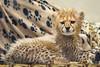 Sweet Pause (Penny Hyde) Tags: babyanimal bigcat cheetah cheetahcub cub safaripark