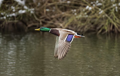 a colored Rocket (Franck Zumella) Tags: mallard duck canard col vert colvert flying fly volant voler lake lac water eau bird oiseau color colors colour couleur couleurs green purple violet animal wildlife action vie sauvage fast rapide mouvement movement wings ailes wing aile yellow jaune