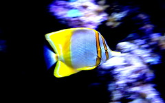 My Father sent me._DSC05465 (jaciii (off&on)) Tags: fish aquarium cityofdallastexas dallascountyusa purple blue black white yellow tan