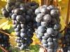 IMG_5208 Spazieren nach Sooß mit Oma+Opa, 11.10.2008 (MQ73) Tags: spazieren herbst 2008 oktober weingarten wein weinreben wine vineyard weintrauben grapes baden badenbeiwien badennearvienna 11102008