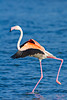 Fenicottero (fausto.deseri) Tags: flamingo phoenicopterusroseus fenicottero wildlife birds nature wildanimals deltadelpo nikond7100 nikkor300mmf28afsii nikontc20eii faustodeseri