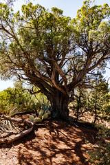 Devil's Bridge Trail, Sedona, AZ (hinzyy) Tags: desert sedona arizona old hiking tree trees