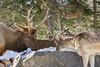 Watering Rock (Eunice Gibb) Tags: parcomega montebello quebec wildlife parkanimals omegapark quebecanimalpark animals wildanimals canada canadiananimals deer red reddeerbuck buck winter animalsinwinter wildlifeinwinter quebecwinter deerdrinking deereatingsnow