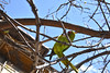 bird (cost_vocan) Tags: bird budgie casilinaroma casilina roma nature
