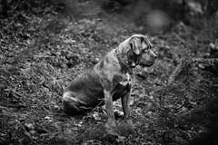 (R:v) Tags: france français french bretagne breton rv photographe rvphotographe art pro 29 dog animal animals nb noirblanc bw blackwhite monochrome exterieur chien