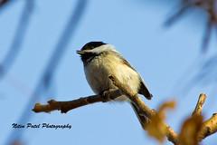 IMG_4092 (nitinpatel2) Tags: bird nature nitinpatel