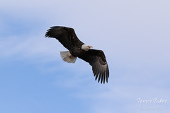 Female Bald Eagle stretches her wings - 6 of 30