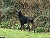 Dobermann Pinscher Saxon (firehouse.ie) Tags: black boy k9 dog saxon male pinscher pinschers dobermans doberman dobermanns dobermann dobeys dobey dobies dobie dobes dobe
