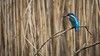 Eisvogel (Alcedo atthis) (martinjutzi) Tags: eisvogel alcedoatthis birds wildlife 500mm switzerland outdoor hide