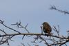 Heckenbraunelle (xy5661) Tags: heckenbraunelle prunellamdularis dunnock