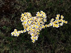 Finally Completed The Frangipani Heart (itchypaws) Tags: northkuta bali indonesia id frangipani heart flowers sandi agung villa villas arrow love 2017 holiday vacation island