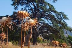 El cedro y los cardos (valorphoto.1) Tags: selecciónvp alcoi zona norte color naturaleza cedro cardos montaña arboles flores campo extraradio ciudad arbusto plantas hojas luz natural exterior photodgv
