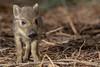 Wild Boar humbug (Thomas Winstone) Tags: frischlinge wildlife wildboar boar susscrofa forest forestry forestofdean parkend england unitedkingdom gb
