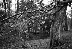 861 (a.pierre4840) Tags: olympus om2n zuiko 55mm f12 ilford ilfordhp5 hp5plus 35mmfilm bw blackandwhite monochrome noiretblanc trees leaves winter bokeh forest woodland dof depthoffield dorset england holloway