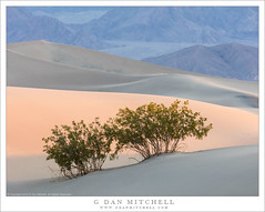 Creosote Bushes, Dunes At First Light (G Dan Mitchell) Tags: deathvalley national park creosote bush sand dunes first morning light sunrise mountains nature landscape desert arid curves california usa north america
