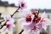 Spring sign - our almond tree blossoms (Maria Eklind) Tags: droplets nature almond bokeh depthoffield dof sweden malmö almondtree fs180415 springsign tecken blossom flower tree closeup blommar vårtecken macro blomma fotosondag