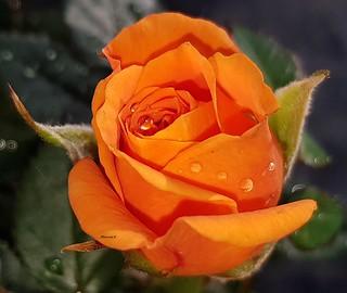 Mini rosier orange