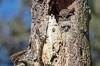 Great Horned Owl mama and baby (RebelRob) Tags: britishcolumbia birds birdwatching birdsofprey greathornedowl owls bubovirginianus vancouverisland victoriabc nest