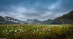 Iceland - Wild Cotton, Landmannalaugar (IanLyons) Tags: concepts centralhighlandregion europe fjallabaknaturereserve iceland landscape landmannalaugar mountain places gloomyweather overcast photography