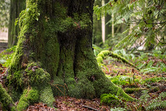 Bright Angel Park – Duncan, Cowichan Valley, Vancouver Island, British Columbia, Canada (Toad Hollow Photography) Tags: trees forest light moss green roots ferns sunlight cowichan cowichanvalley duncan brightangelpark britishcolumbia bc canada