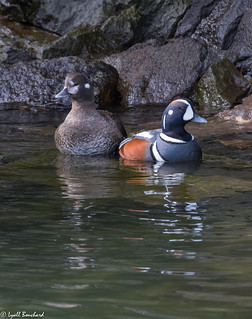 Harlequin Duck pair