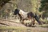 Wild & Wooley (♞Jenny♞) Tags: pete gypsygelding running muddy jennygrimm
