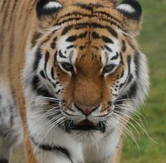 Yorkshire Wildlife Park 13.03.2018 235 (Andrew Burling (SnapAndy1512)) Tags: yorkshirewildlifepark13032018 yorkshirewildlifepark tiger amurtiger bigcats animals zoo