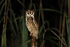 """ Striped Owl / Hibou strié "" (ricketdi) Tags: birdofcostarica stripedowl hiboustrié pseudoscopsclamator coth5 sunrays5 ngc npc"