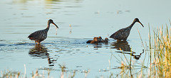 03-18-18-0008265 (Lake Worth) Tags: animal animals bird birds birdwatcher everglades southflorida feathers florida nature outdoor outdoors waterbirds wetlands wildlife wings