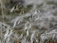 Curvy Grass (Robert Cowlishaw (Mertonian)) Tags: photophari kneeling upclose greatsaltlake antelopeisland canonpowershotg1xmarkiii markiii g1x powershot canon robertcowlishaw curvy mertonian bokeh macro wintergrass grass forwisdommyconstantcompanion