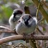 He's behind you! (AndyorDij) Tags: birds england empingham rutland uk unitedkingdom gardens 2018 andrewdejardin sparrow housesparrow passerdomesticus