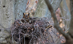 Great Horned Owl..... (Kevin Povenz Thanks for all the views and comments) Tags: 2018 march kevinpovenz westmichigan michigan ottawa ottawacounty ottawacountyparks grandravinesnorth greathornedowl nest sitting branches canon7dmarkii sigma150500 nature wildlife outside outdoors tree mother