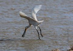 DSC_3422 (Adrian Royle) Tags: lincolnshire framptonmarsh rspb nature wildlife bird heron spoonbill nikon