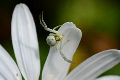 Spider closeup (steffos1986) Tags: spider macro makro wild closeup bokeh nature nikond5500 nikon tamron90mm28macro