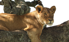 A Firm Focus On The Target (AnyMotion) Tags: lion löwe pantheraleo lioness löwin tree baum liontree 2018 anymotion morukopjes serengeti tanzania tansania africa afrika travel reisen animal animals tiere nature natur wildlife 7d2 canoneos7dmarkii ngc npc