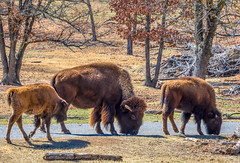 Bison at home in Oklahoma (Pejasar) Tags: bison mother calves oklahoma arbucklewilderness animal mammal big family massage beasts log trees grass zoosofnorthamerica