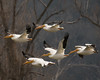 Tight Formation... (ragtops2000) Tags: nature wildlife migration bird water pelican americanwhite flyby formation wings colorful precision arrived traveler detail background exciting