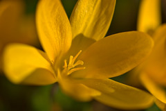 Yellow Crocus (pstenzel71) Tags: blumen natur pflanzen krokus crocus yellow gelb flower darktable bokeh samsungnx