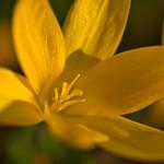 Yellow Crocus thumbnail