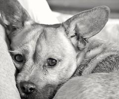 Tarde de relax y descanso. (garciacarolina28) Tags: perro perromestizo perros dog dogforever myfriend mybestfriend mydog miradas mirada eyes expresión blackandwhite blackandwhitephoto blancoynegro blancoynegrofoto