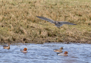 Incoming Curlew