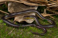 Rainbow Snake. Southeast Louisiana, February 2018 (rman2013) Tags: