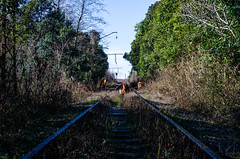 Cows walk next to the railway (ivan_volchek) Tags: track nature locomotive outdoors tree road railway travel visiting landscape wood leaf flora grass perspective summer derelict cows walk