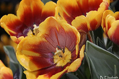 Tulips (Barbara.Elizabeth) Tags: philadelphiaflowershow2018 daylight gardens flowers closeup canon80d color macro petals