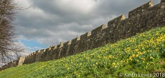 Under the city walls (keithhull) Tags: york walls citywalls roman daffodils spring yorkshire