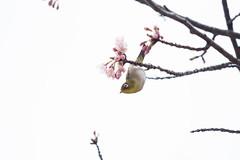 _3188177.jpg (plasticskin2001) Tags: mejiro sakura bird flower